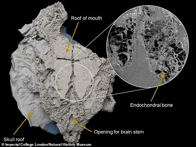 Virtual three-dimensional model of the braincase of Minjinia turgenensis generated from CT scan. Inset shows raw scan data showing the spongy endochondral bone inside