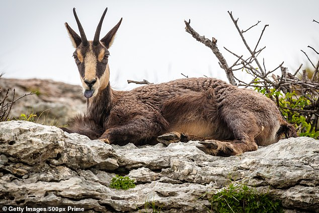 Chamois are an agile herbivore with short hooked horns found in mountains of Europe and Western Asia. Scientists say the specimen is approximately 400 years old but has been amazingly preserved in the ice