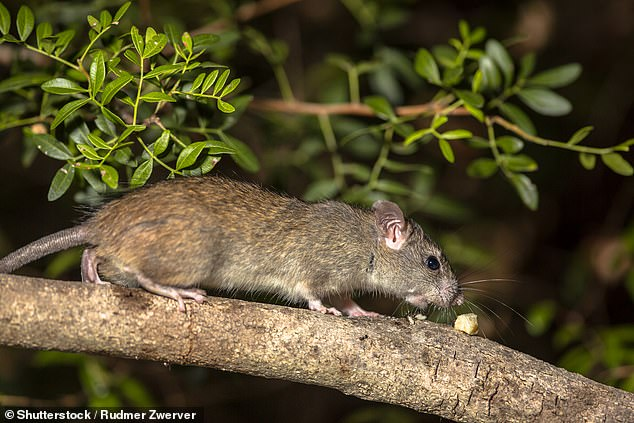 Museums Victoria has issued a conservation callout for the Tooarrana, otherwise known as the broad-toothed rat