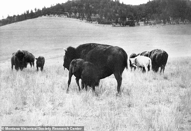 A blue-eyed white buffalo named Big Medicine (seen here) was born on Montana's Flathead Indian Reservation in 1933