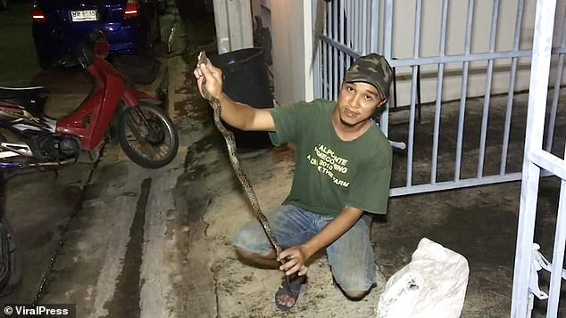They used snake catching equipment to snare the python, which measured around 4ft long. They took it into a sack before releasing it back into woodland