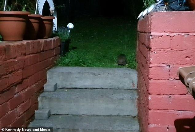 The hedgehog walks into Ms Majcher's garden after successfully scaling the flight of stairs