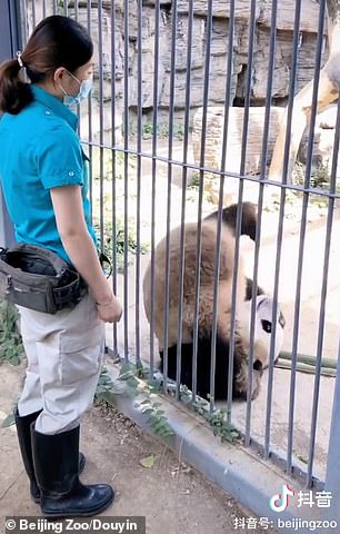 The zoo worker is seen giving Fuxing food as a reward every time the bear completes the action