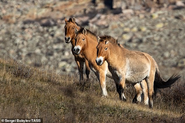 Przewalski's horses at the Khustain Nuruu National Park in Mongolia. They are believed to be the last remaining species of horse that's never been domesticated