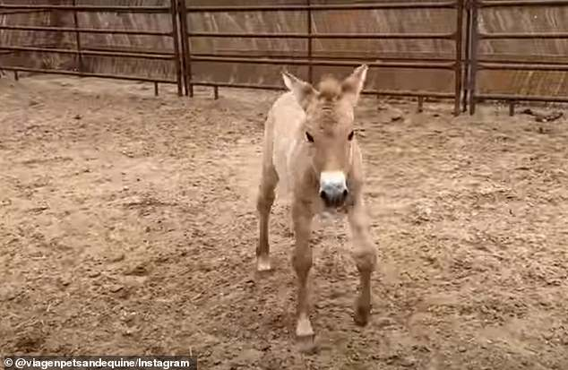 Kurt learning to steady himself. There are less than 2,000 Przewalski¿s horses alive today, almost all of which are in captivity
