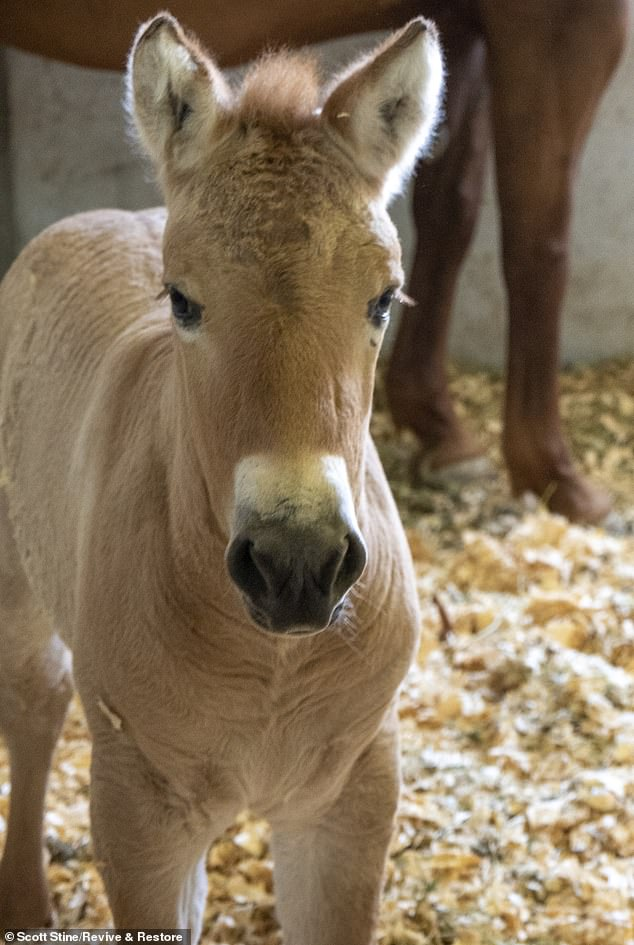 Kurt, the first-ever clone of a Przewalski¿s horse, was born to a surrogate on August 6. It's hoped he'll add some much needed genetic diversity to the breed, whose small numbers make them susceptible to inbreeding.