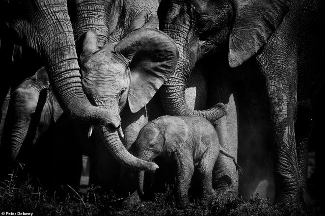Peter called this image Bonds of Love and says it is one of his absolute favourite pictures. He explained: 'Elephants are very protective of their young. In times of a threat, the family will close ranks, and the young are pushed to the middle.' He captured the scene in Addo Elephant National Park