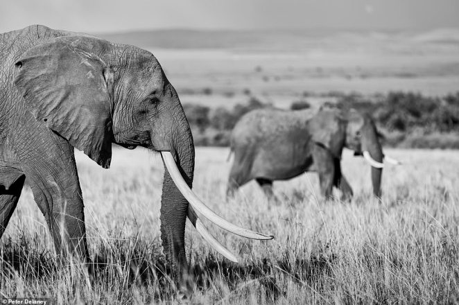 When watching elephants while taking his pictures, Peter says it 'touches your soul and pulls at your heartstrings'. He snapped these two in Kenya's Mara Triangle