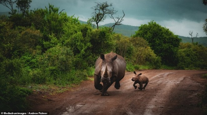 'Africa's Oldest Land Mammal' by Andrew Palmer. Palmer said: 'The Hluhluwe Imfolozi park is the oldest game reserve in Africa and is also the birthplace of rhino conservation and is the reason the white rhino can still be found in high numbers today! Sightings in the park and in Zululand are not uncommon but typically photos are very similar i.e. they are either eating or sleeping. On this occasion the mother took her young calf, ran out on the road in front of us zig-zagged towards the car and disappeared in the bushes! I have been on many safaris and seen and photographed many rhinos but I will never have another image like this in my lifetime'