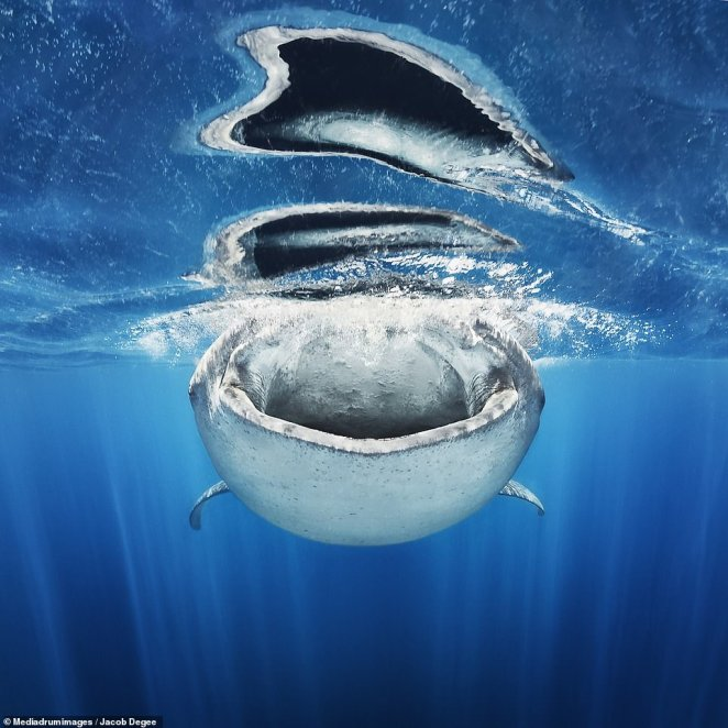 'The Holes in Water' by Jacob Degee. The Polish-born photographer captured a 3000-stone whale shark inhaling fish eggs near Isla de Mujeres, Mexico. Excellent timing and position of Degee's lens allows us to sea the sunbeams through the water and down the shark's throat which is reflected above on the waves