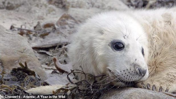 A hardened clip shows a seal puppy fighting for its life in a new documentary series on animals living on the coast of the Atlantic Ocean by Channel 5, which will air at 9pm tomorrow.