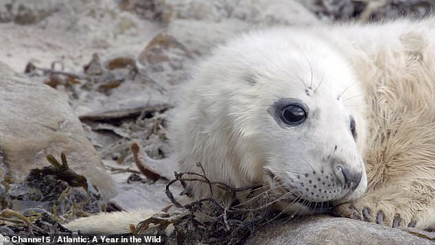 A harrowing clip shows a seal pup fighting for his life in a new documentary series on the animals living on the coast of the Atlantic ocean by Channel 5, airing tomorrow at 9pm