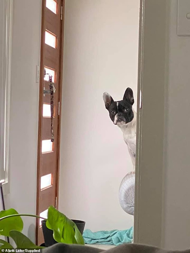 'I asked Stanlee to sit in the other room so I could complete my assignment,' Alicia posted on Facebook, adding that this didn't stop the dog (pictured) from staring at her