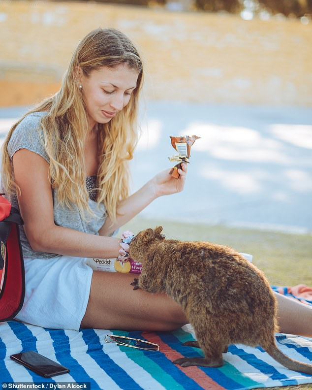 Pictured: A woman playing with a quokka on Rottnest Island - one of the locations where jobs are being offered
