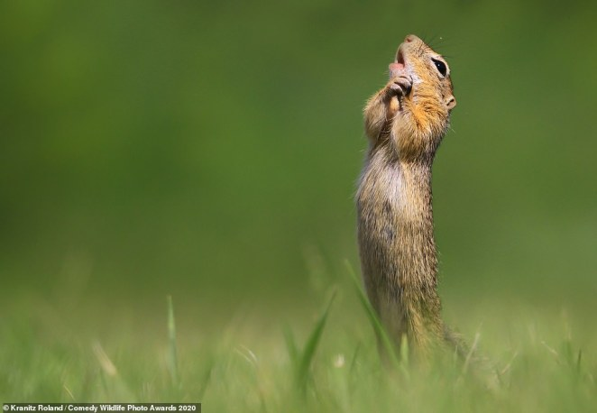 This squirrel looked as though it was belting out a song as it stood on its hind legs and appeared to sing with its head held high. The photo is titled 'O sole mio' and was taken in Hungary byRoland Kranitz