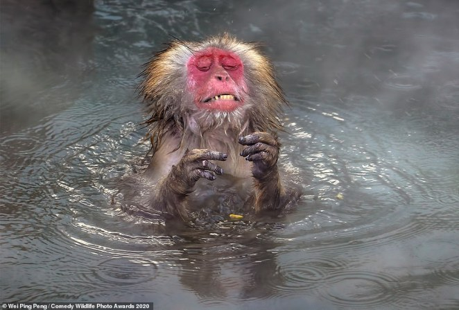 Help me! This poor monkey looked pained as it sat hot springs in Japan and lifted its hands in the air with a grimaced expression on his face