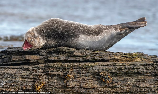 This seal, pictured in Caithness, Scotland, looked as though it found something very funny as it was seen with its eyes screwed shut and its mouth wide open lying on a piece of wood just out of the water