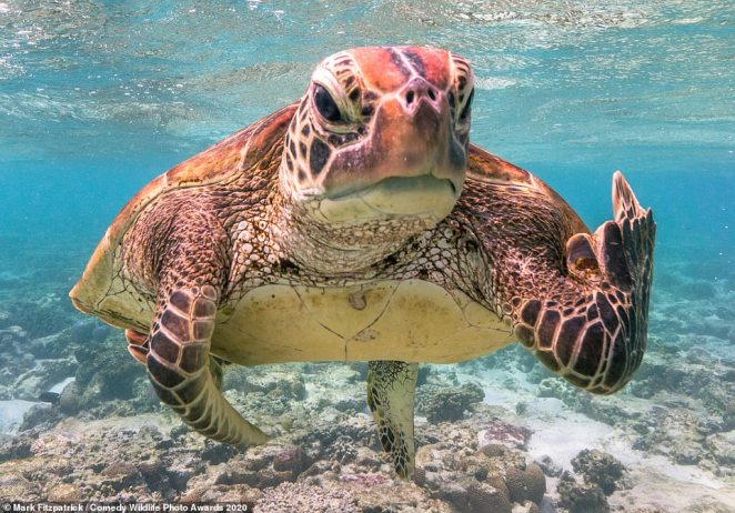 This turtle looked as though it was being very rude indeed to the photographer who snapped it swimming. The picture is one of the 44 finalists in theannual Comedy Wildlife Awards and was taken by Mark Fitzpatrick at theLady Elliot Island Eco Resort in Queensland, Australia