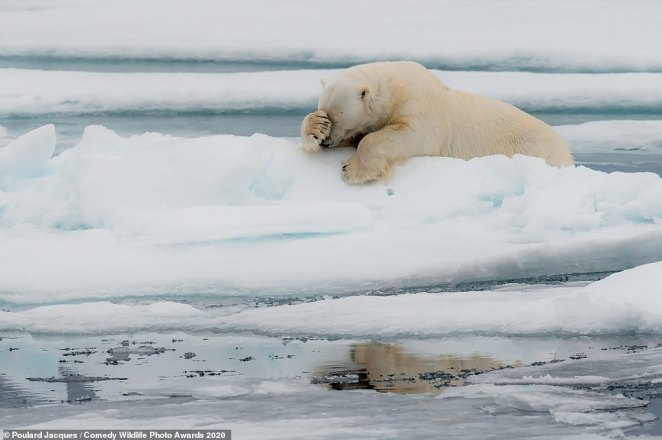 An icy look! This polar bear, which was pictured in Svalbard, Norway looked to be embarrassed about something as it was seen resting on a patch of ice with its paw apparently covering its eyes