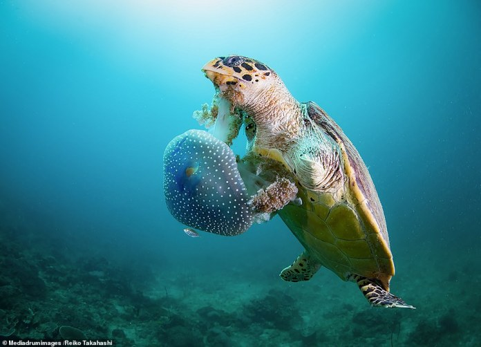 'Righty' by Reiko Takahashi. Takahashi, an underwater photographer from Japan, says the locals on Phi Phi Island, Thailand, call this turtle Righty because he doesn't have a left hand. The cause is unknown