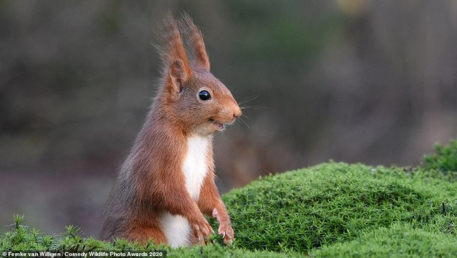 This Eurasian red squirrel in Espelo in the Netherlands, looked to be having the time of its life as it was seen with what looked like a smile on its face and two streaks of fur rising from its head into the air. PhotographerFemke van Willigen called it 'The Inside Joke'