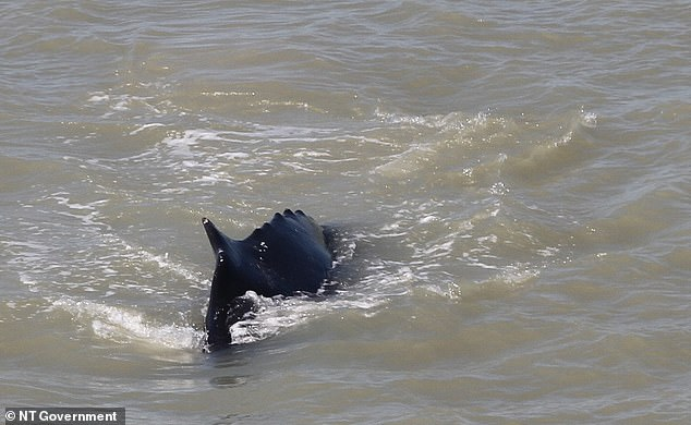 The whale is pictured swimming in the river, which Parks Australia said is 'a very unusual event' and the 'first time this has happened'