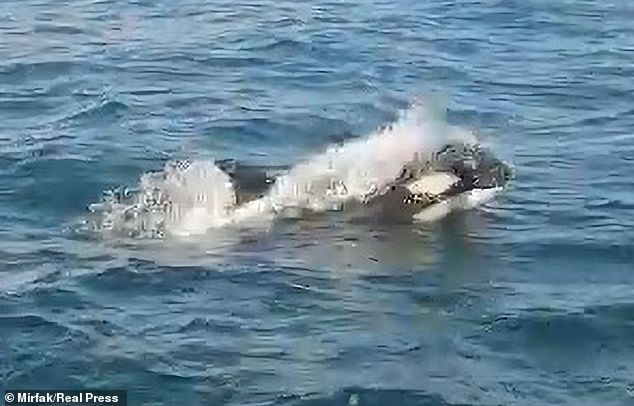 A killer whale breaks through the surface of the water nearA Coruña in northern Spain before attacking a Halcyon Yachts vessel