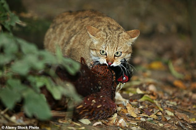 Researchers followed 20 cats using mini video cameras to monitor their movements and found that 82 per cent of prey they caught was not returned home. Pictured: Cat eating a pheasant