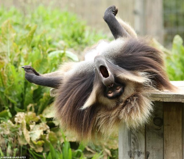 Monkeying around: The gelada lets out a beast of a yawn as he relaxes in his enclosure at the Wild Place Project