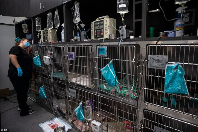 Veterinary technician Cathy Ackerman checks the medical equipment by the cages for the injured cats at the Southern Oregon Veterinary Specialty Center (SOVSC)