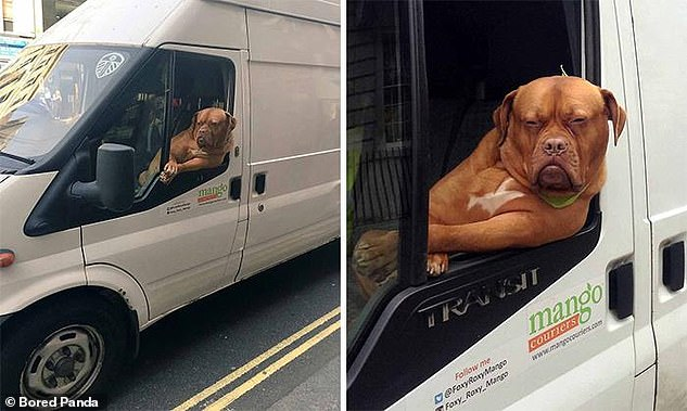 Social media users from across the world have been sharing the hilarious snaps of their pooches travelling in style (pictured, French Mastiff Roxy can often be seen hanging out the window of the Mango Couriers Transit van while making delivers around London)