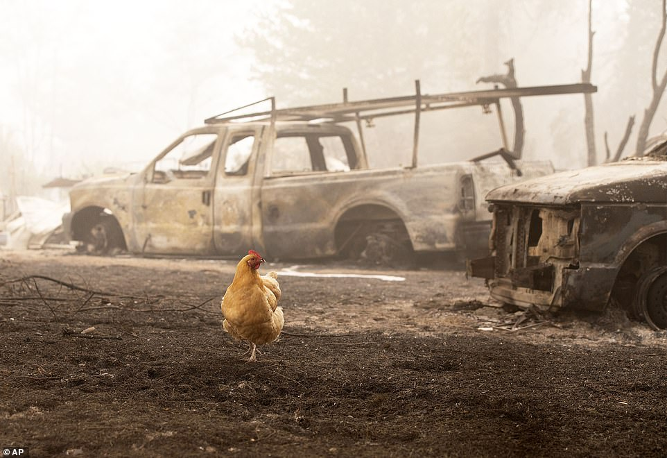 A chicken wanders through charred remains from the Beachie Creek Fire near the destroyed Oregon Department of Forestry