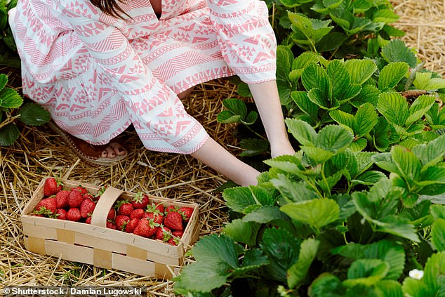 Another backpacker who withheld her real name said she was denied work on a South Australian farm because she wouldn't flirt with the boss or wear skimpy outfits (stock image)