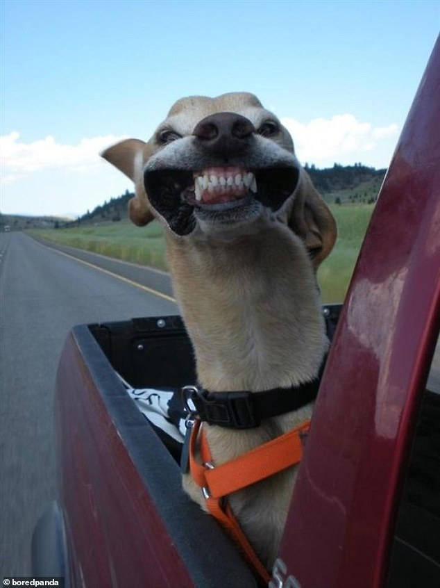 Say cheese: Wind billowing in their jowls, this cheeky pooch seemed to still be having the time of his life on the back of a truck in an unknown location