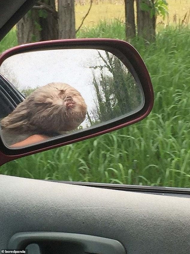 Undeterred by the wind blowing in his face and covering his eyes, this dog continued to poke his face out of the window, providing his owners his some road trip entertainment. Pictured in an unknown location