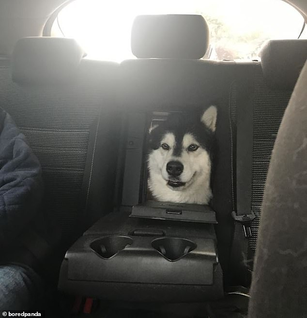 Still hoping to involved in the road trip fun, this husky's owners opened up the middle seat to allow them to poke their head through and say hello in an unknown location