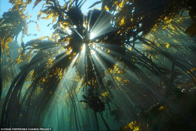 In My Octopus Teacher we learn that Craig, 52, began free-diving without a wetsuit in the frigid kelp forest at the tip of Africa (pictured) - part of the 800-mile long Great African Sea Forest - to re-energise himself after suffering burnout