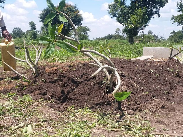 New trees were planted to mark Mercy's grave at her ancestral village in eastern Uganda