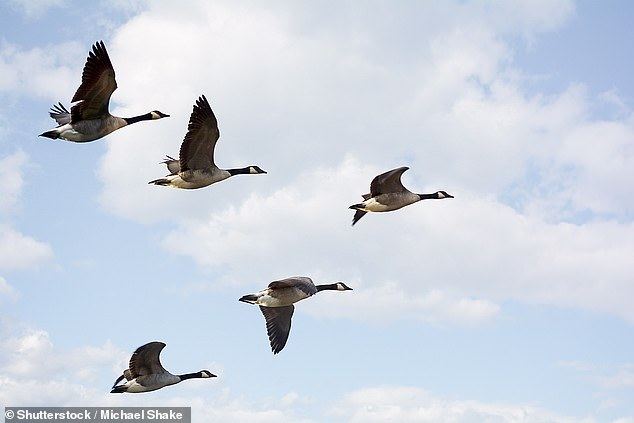 Airliners could reap fuel savings of up to 10 per cent — along with a corresponding decrease in emissions — by flying in formation like birds, Airbus has revealed. Pictured, geese flying in a V