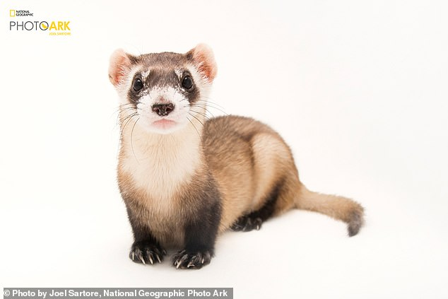 Ongoing conservation efforts have also saved some species from extinction, which would otherwise have been consigned to the history books, such as the black footed ferret. Pictured here by the National Geographic PhotoArk