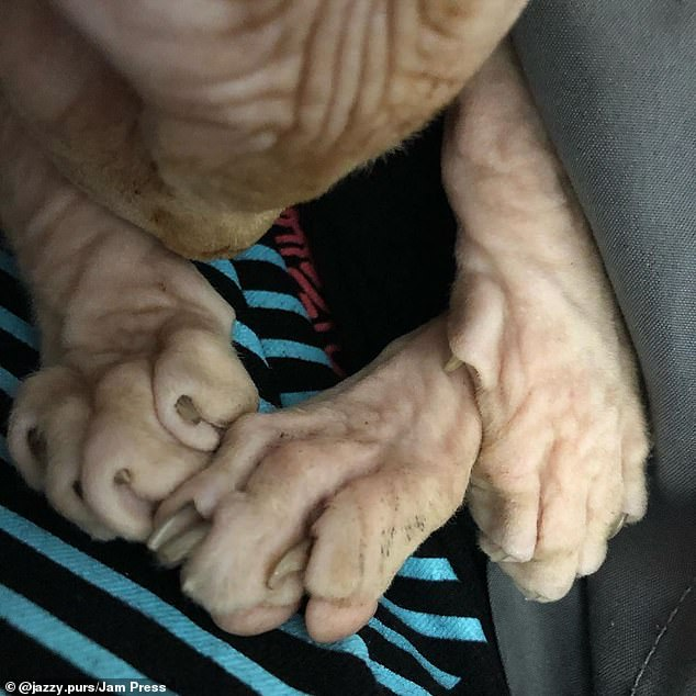 A closer look at Jasper's hairless paws with visible claws while he takes a restoring nap on Kelli's lap