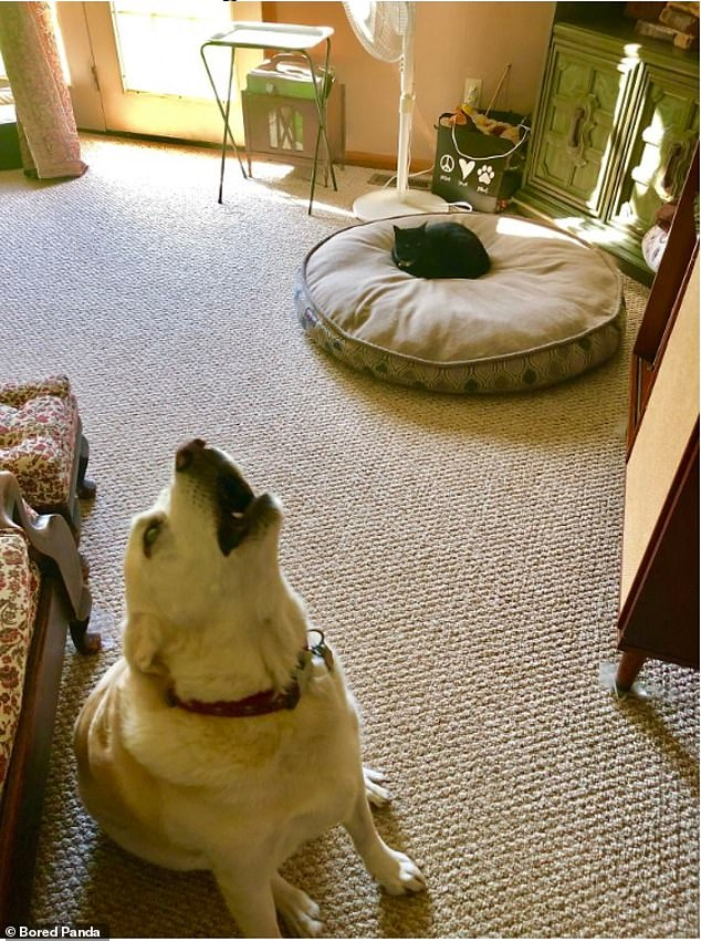 It's not fair! This dog appears to cry at their owner after discovering that the brazen family feline has taken over their bed