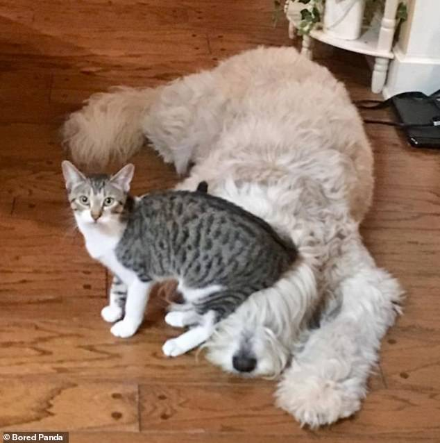 Feeling comfy? This feisty feline has no problem settling down wherever she prefers - even on a sleeping dog's furry head