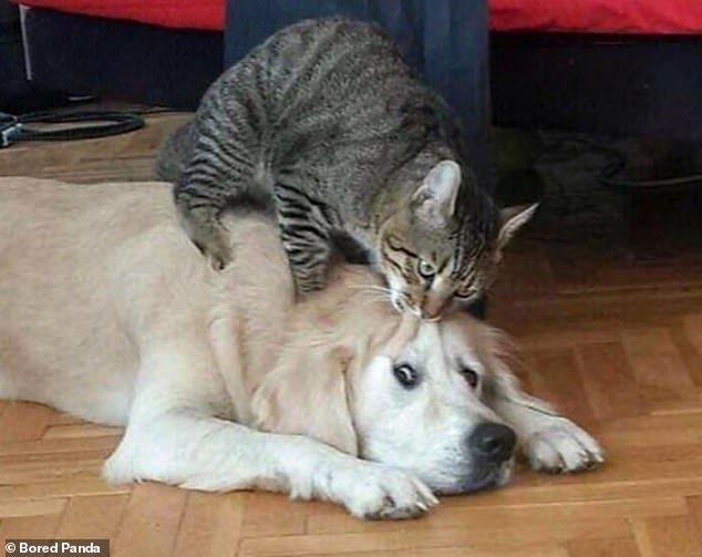This attention-seeking cat is most likely feeling ignored by the grumpy dog and so starts messing with their face to get a reaction