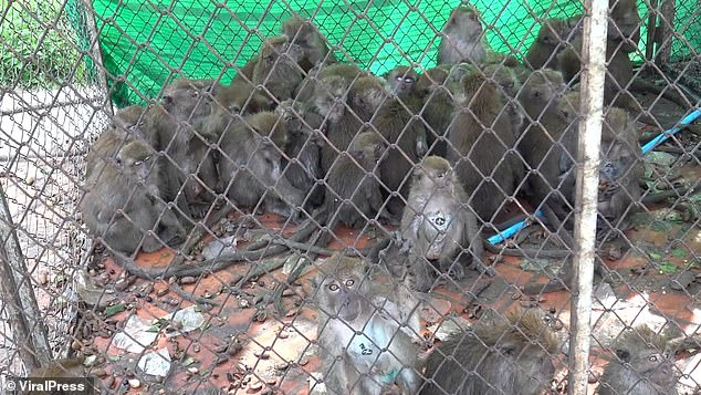 More than 200 marauding macaque monkeys have been castrated in Thailand after a spate of raids on homes in search of food