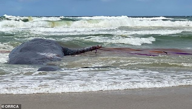 volunteers discovered the whale's lower jaw had been removed with a chainsaw in a 'disgusting act' motivated by money