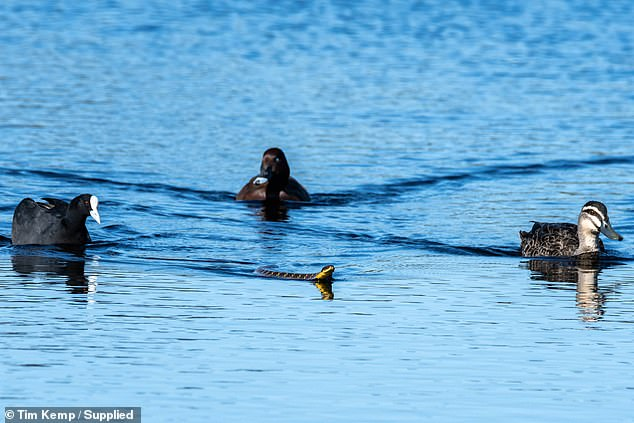 Nature photographer Tim Kemp witnessed the remarkable moment three ducks escorted a tiger snake back to shore in Whiteman Park near Perth this week