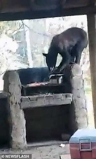 The beast can be seen standing precariously on the edge of the built-in barbecue as meat sizzles on the grill.