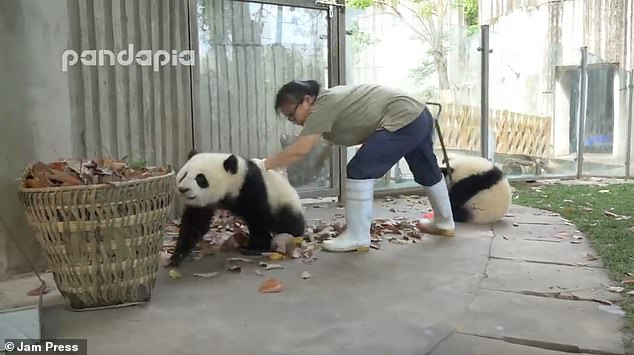 The footage of the naughty panda cubs, filmed at the Chengdu Research Base of Giant Panda Breeding in Sichuan province, has melted the hearts of millions on social media
