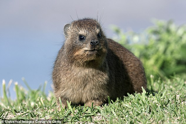 The song of the rock hyrax, a small furry animal that's actually closely related to the elephant, is punctuated with snorts that increase in number and harshness as the song continues. Researchers believe the snorts advertise the male's virility and ensure his audience doesn't tune him out